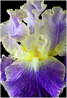 Tall bearded Iris, Moonlit Water