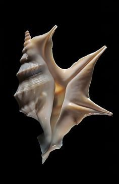 Aporrhais pespelicanis