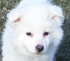 7 / 30    ***SENIOR*** Petango.com – Meet Dallas, a 7 years 8 months American Eskimo available for adoption in ANDERSON, IN Address  P.O. Box 0991, ANDERSON, IN, 46015  Phone  (765) 649-7944  Website  http://www.countrysideanimalre scue.org  Email  info@countrysideanimalrescue.o rg