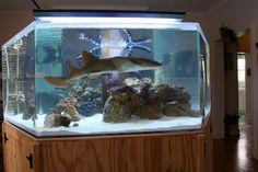 Aquarium Sharks, Saltwater Aquarium Fish, Home Aquarium, Saltwater Tank, Marine Aquarium, Aquarium Ideas, Fish Aquariums, Aquarium Design, Tropical Freshwater Fish