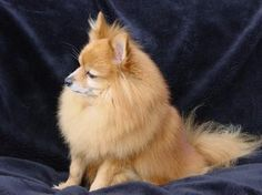 Small Pomeranian Lacey returned to homeless couple after carjacking - Particle News