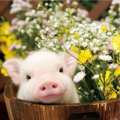 This Little Piggie went to market Julie Rundle October Cute Little Animals, Little Pigs, Animals And Pets, Funny Animals, Animals Kissing, Baby Farm Animals, Wild Animals, Teacup Pigs, Cute Piggies