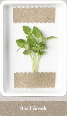 Herbs Micro Herbs, Spices And Herbs, Fresh Herbs, Homemade Seasonings, Medicinal Plants, Herbal Medicine, Home Brewing, Cupboard, Basil