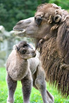 A fluffy baby Bactrian Camel has arrived at Poland's Krakow Zoo!  See more today on ZooBorns.com and at http://www.zooborns.com/zooborns/2013/06/fluffy-baby-camel-comes-to-krakow-zoo.html
