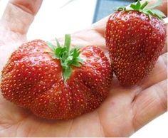Jahody - sadba jahod | Subtropické zahradnictví KRUH Strawberry, Fruit, Food, Essen, Strawberry Fruit, Meals, Strawberries, Yemek, Eten
