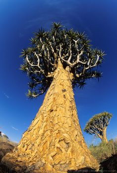 image detail for a quiver tree pictured from the ground upwards, keetmanshoop district, namibia, southern africa Giraffe Pattern, Fig Tree, Quiver, Giraffes, Botany, Lodges, Trees To Plant, Aloe, Monument Valley