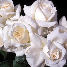 """Rosa Grandiflora (cross between a floribunda and a hybrid tea) 'Maria Shriver' Rose. H: 4'-5', W: 2'-3'. Strong fragrance (citrus) from 4""""-6"""" pure white double blooms in small clusters in the summer. Blooms on new wood. Will rebloom with dead-heading. Dark green foliage."""
