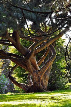 Old tree ... National Botanic Gardens, Dublin, Ireland Mide cuige Ireland