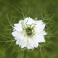 Nigelle (Nigella sativa) : propriétés, bienfaits de cette #plante en phytothérapie