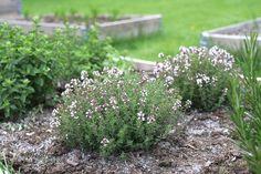 Timianen blomstrer vakkert i det grønne urtebedet, og oreganoen i bakgrunnen vokser iherdig videre selv om den har fått seg en knekk