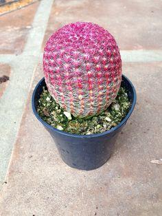 Agaves, Cacti And Succulents, Planting Succulents, Garden Plants, Catus Plants, Belle Plante, Unique Plants, Cactus Y Suculentas, Cactus Flower