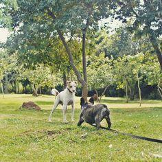 """Todas as vezes que um """"não buldogue"""" amigável aparece interessado em interagir eu já fico AIMEODEOSDOCEL!  Apesar do Bento ser de boas ele tem um jeitinho bem peculiar de demonstrar interesse em brincar: dá pulos rodopia corre em torno do outro cachorro.  Durante as interações (como a maioria dos buldogues) ele gosta do contato físico gosta de se jogar sobre o outro cachorro e gosta de rolar com o outro cão também.  MAS muitos """"não buldogues"""" estranham essa forma abrutalhada de interagir…"""