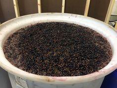 "Grape ""must"" fermenting"
