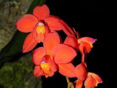 Andy's Orchids - Species Specialist - Cochlioda - noezliana