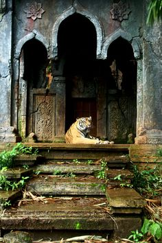 tiger of the lost temple by JoeLeong - Photo 32287667 / Beautiful Cats, Animals Beautiful, Wildlife Photography, Animal Photography, Jungle Temple, Tier Fotos, Big Cats, Beautiful Creatures, Pet Birds
