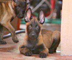 Malinois male puppy, Jai