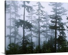 Silhouette of trees with fog in the forest, Douglas Fir, Hemlock Tree, Olympic Mountains, Olympic National Park, Washington State