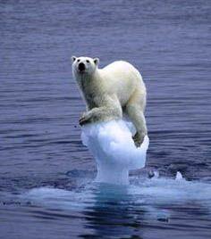 Polar Bear running out of habitat.