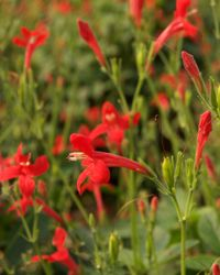 Ragin Cajun™ Ruellia | Perennials | Southern Living Plant Collection.....Vivid red flowers and a low growth habit. A tough little plant that's easy to grow and holds up well through heat and humidity. Use in beds, pots and planters.