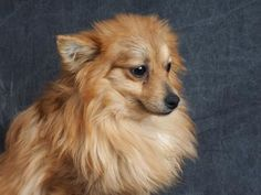Adopt Soleil, a lovely 8 months 18 days Dog available for adoption at Petango.com.  Soleil is a Pomeranian and is available at the National Mill Dog Rescue in  Colorado Springs, Co.  www.milldogrescue.org
