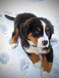 Bernese Mountain Dog puppy named   Edison