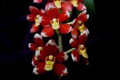 Goto Orchids