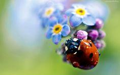 Biedronka, Krople, Wody, Polne, Kwiatki, Rozmycie