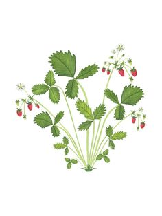 Watercolor Strawberry Plant Botanical Print от AnneButeraArt