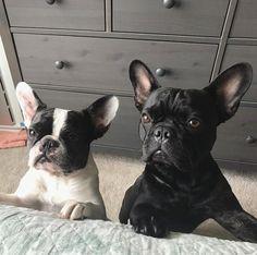 French Bulldog Puppies ❤️