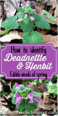 "How to identify Henbit and Purple Deadnettle, two early, edible ""weedy"" wildflowers of early spring. Packed with nutrients, and medicinal too! From the ForagedFoodie"
