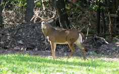 deer free download pictures