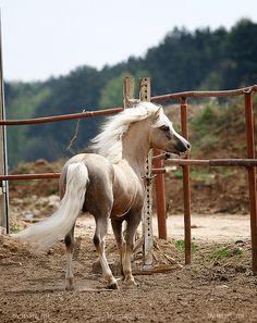 welsh mountain pony stallion