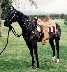 Black Snowflake Appaloosa- I'm not a horse person, but this one is gorgeous