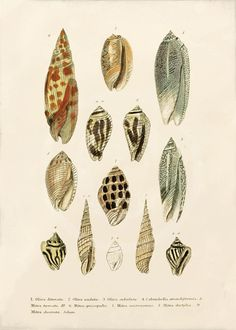 Antique Shells Art Print....the real thing....a lot of them