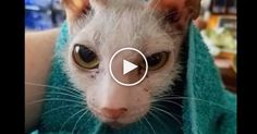 "Most people called this kitten ""ugly"" ""gross"" or were just confused about what ""kind of animal"" that cat is. But when you hear the story behind this kitty, you can't help but fall in love. Possum, this strange looking cat with gray fur, bald patches and a ratty looking tail had people asking if s"