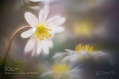 spring whisper by Monique_Felber #nature #photooftheday #amazing #picoftheday