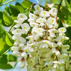 ZDROWIE | Drzewa i krzewy lecznicze | AKACJA Edible Flowers, Trees And Shrubs, Natural Medicine, Herbalism, Flora, Spices, Food And Drink, Herbs, Healthy
