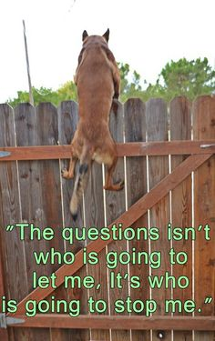 How fast can you make it over the fence? A Malinois will always win!