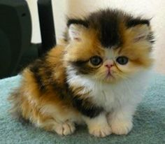 persian kitty....what a sweet baby!