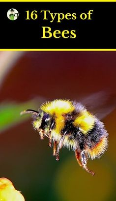16 Types of Bees With Pictures Bees are a majorly important link in our food chains. Without bees, the entire ecosystem would quickly collapse. They also provide us with much valued products like honey,. African Honey Bee, Getting Rid Of Bees, Insect Repellent Plants, Types Of Bees, Raising Bees, Mason Bees, Pets, Insects, Beekeeping