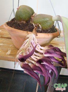 ---CEAP Design---Bulbophyllum fletcherianum