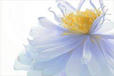 45 Beautiful Louts Flowers | Showcase of Art