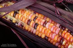Colorful indian corn from my garden.  Love the colors in these.  The Squirrels seem to love them too. I got this one before he did. We have had a battle over the grapes and the corn.  I like to plant this for fall decorations with the pumpkins for Halloween and thanksgiving.  Fine art food photography prints, decorative canvas prints, acrylic prints, metal prints, greeting cards and stock images by By James Bo Insogna (C)   - All Rights Reserved.   303-834-2524  *PLEASE NOTE, WATERMARKS WILL…