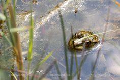 Animals, Photos, Amphibians, Pond, Animales, Animaux, Animal Memes, Animal, Animais