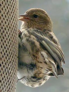 Pine Siskin on nyger thistle seed feeder, March 2011