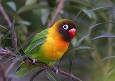 Gambar Burung Lovebird Kacamata Topeng