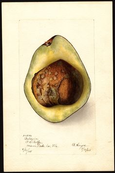 Artist: Heiges, Bertha Scientific name: Persea Common name: avocados Variety: Baldwin Geographic origin: Miami, Dade County, Florida, United States Physical description: 1 art original : col. ; 17 x 25 cm. NAL note: Alternative variety name(s): Baldwin West Indian Specimen: 34546a Year: 1905