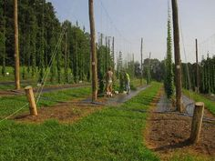 As farmers consider growing hops for local breweries, N.C. State University is conducting research in Raleigh and Mills River to see if hop growing could become a viable specialty crop for North Carolina.