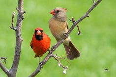 Cardinals in Nebraska by Paul Julian