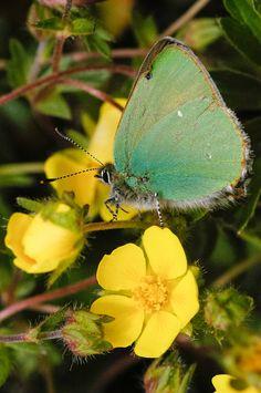 Green Hairstreak butterfly.